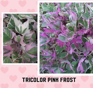 House Plant /Tri- color  sweet potato vine plug Pink White