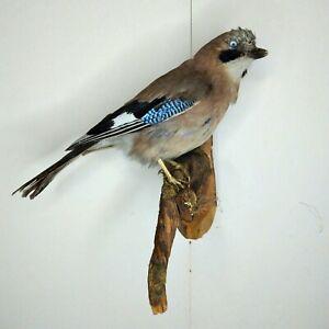 Taxidermy Mounts J.ay Bird wall Art Decor On Wood Sku / Pheasant D.uck Turkey