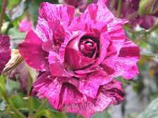 PURPLE TIGER - 4lt Potted Floribunda Garden Bush Rose - Unusual Purple Stripes