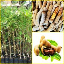 60cm Sweet Tamarind grafted tree tropical plants Sweet Variety Thai Popular