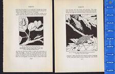 Snowy Tree Cricket-Katydid-Grasshopp er - Insect Wookblock Illustrations 1934