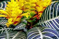 """Aphelandra Snow White Zebra Plant Exotic & Unusual House Plant 4"""" Pot Indoor"""