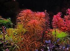 Ludwigia Inclinata Pantanal - Rare Submerged Grown Live Aquarium Plants
