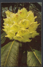 Flowers Postcard - Rhododendron 'Fortune' FCC, Exbury Gardens   RS5992