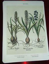 Planche botanique poster art print affiche Printemps Scille de Byzance Muscari