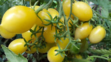 10 graines de  tomate rare excellente Barry's Crazy Cherry  tomato seeds bio