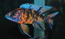 Live OB Peacock Cichlid Aulonocara Sp. for fish tank aquarium