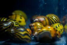 10 x Zebra & Red Onion Nerite snails mixed, Fresh Water Snail