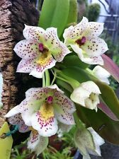 Orchid species Trichocentrum pulchrum parfumée Bloom taille
