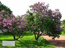 Common Lilac Tree Seeds (Syringa vulgaris), 150 seeds