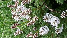 HEBE TOPIARIA HARDY UNUSUAL COMPACT WHITE FLOWERED EVERGREEN SHRUB LOVED BY BEES