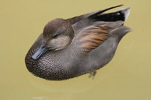 Gadwall Taxidermy / Decoy Carving Reference Photo Cd