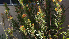 MEXICAN BUTTERFLY WEED MILKWEED ASCLEPIAS CURASSAVICA CUTTING MONARCH BUTTERFLY