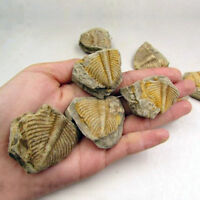 100% Natural Trilobite Tail Old Ancient Fossils Teaching Specimens Collection TT