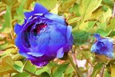 50Rare China's Blue Hydrangea Peony Seeds Paeonia Suffruticosa Flower Tree Plant