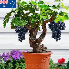 Bonsai Dwarf Mini Grapes Seed Tree Vine 30 RARE grape Seeds Winter Fruit