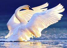 Trumpeter Swan - 3D Lenticular Postcard Greeting Card
