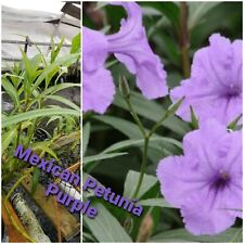 Mexican Petunia purple, bog plant, pond plant, Free Ship 5 plants