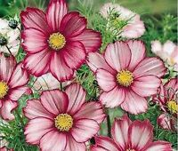 Cosmos- Candy Striped- 100 Seeds- BOGO 50% off SALE
