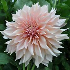 2 Dahlia 'Cafe Au Lait'  tubers bulbs summer flowering allotment garden