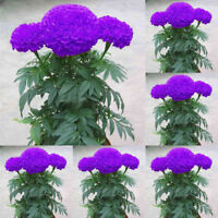 100Pcs Purple Marigold Seeds Potted Plant Flower Home Garden Decoration CA Call