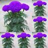 EB_ 100Pcs Purple Marigold Seeds Potted Plant Flower Home Garden Decoration CA C