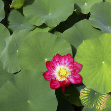 Liveseeds - Mini Red Bonsai Lotus/ Water Lily Flower /5 Fresh Seeds