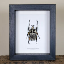 Giant XL Goliath Beetle in Box Frame (Goliathus orientalis) Entomology