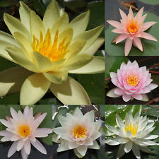 6 WATER LILY PLANTS Temperate Hardy Variety Nymphaea