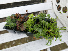 Sedum plants a Collection of 10 plugs with 5 different named varieties