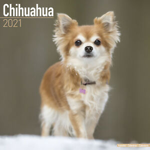 Chihuahua 2021 Dog Breed Calendar 15% OFF MULTI ORDERS!