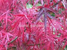Rare Japanese maple cultivar 2yr 'Hubb's Red Willow'