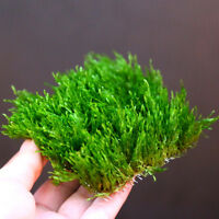 Flame Moss Pad - Live Aquarium Water Plants - Low Light for Shrimp Fish Tank