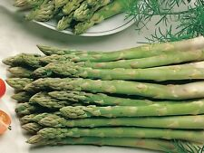 Asparagus Seeds - VIKING - Gmo Free Hardy Variety - Delicious Flavor - 40 Seeds