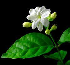 """Ohio Grown Arabian Tea Jasmine Plant - Maid of Orleans - Multiple Plants- 4"""" Pot"""