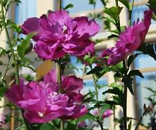 "Rose of Sharon / Hibiscus Syriacus, variété ""Purple Ruffles"", hardy, 15 seeds"