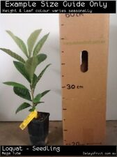 Loquat - Seedling (Eriobotrya japonica) Fruit Tree Plant