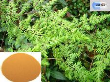 DR T&T™ Hai Jin Sha / Spores of Japanese Fern, Spora Lygodii Japon dry herb 100g