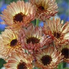 Pot Marigold Seeds - TOUCH OF RED - Calendula - Medicinal Benefits - 25 Seeds