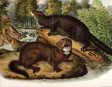 Audubon's Mink Classic art print ! 1940 Antique Lithograph