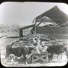 Vtg Keystone Magic Lantern Slide Photo Hereford Cattle Manhattan Kansas Ranch