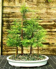 Bonsai Tree Dawn Redwood Grove Drg7-508A