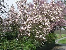 Tulpenmagnolie Magnolia soulangiana 80-100cm Frühlingsblüher