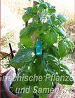 Basilikum 20 cm grosse Blätter riesige Büsche 100 Samen Kräuter Balkon Kübel