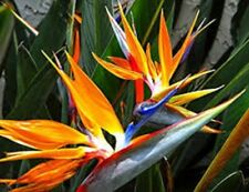 ORANGE BIRD OF PARADISE. STUNNING FLOWERS, EASY TO GROW 20+ FRESH SEEDS