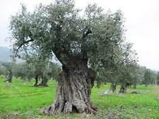 Olea Europaea - 10 Seeds - European Olive Tree