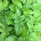 Lemon Balm Seeds 500+ Herb Perrenial Mosquito Insect Repellent USA FREE SHIPPING