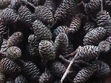 Red Alder Cones (100 pcs)