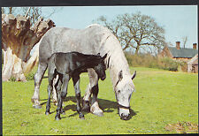 Animals Postcard - A Horse and Foal Grazing In a Field   DR770