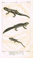 """Lacepede's Oeuvres du Comte - """"LA TROIS-DOIGTS - SALAMANDER"""" - Lithograph - 1833"""